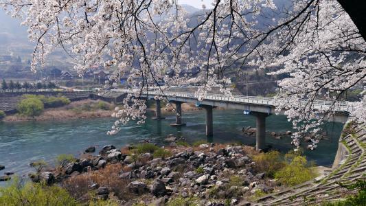樱花, 忠州湖, 在春天, 我回来了