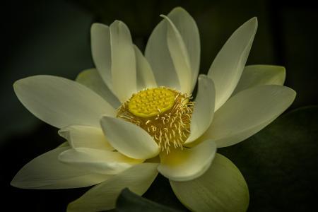 莲花, 水生, 花, 植物区系, 粉色, 莲花, 池塘