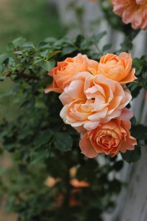 茶玫瑰, 上升, 植物, 花, 橙色, 花园, 自然