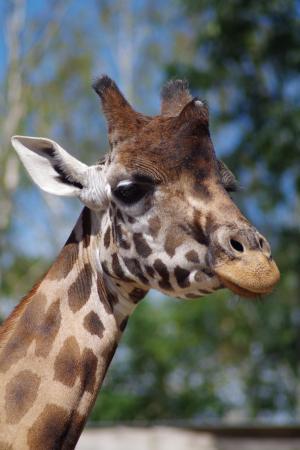长颈鹿, 动物园, 非洲, 反刍反刍