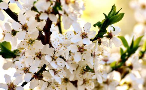 春天, 开花, 绽放, 自然, 植物, 树, 花园