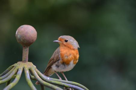 知更鸟, 鸟, erithacus rubecula, 旧世界鹟, 科, 鸣禽, 动物