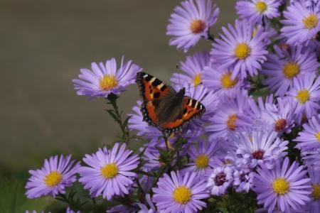 秋天, 蝴蝶, 紫苑