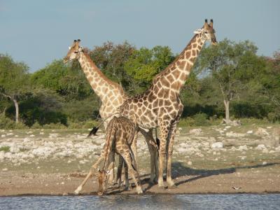长颈鹿, 野生动物园, 纳米比亚, 饮料