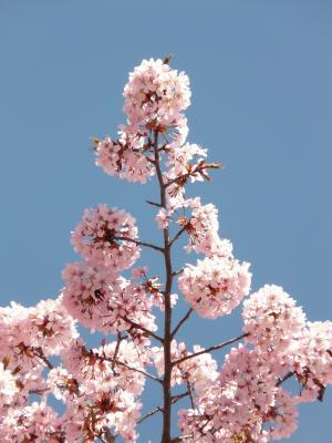 樱花, 开花, 绽放, 树, 日本樱桃, 日本樱花, 樱桃