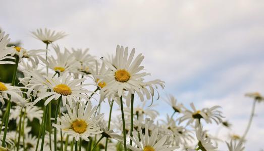 黛西, 花, 春天, 玛格丽特, 植物, 绽放, 开花