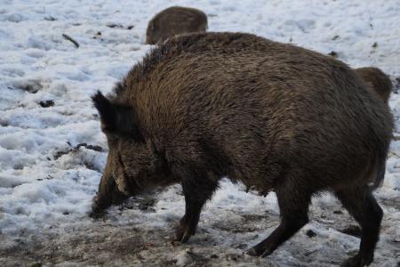 野猪, 野猪, 猪, 森林, 鹿园, 贝奇, 野生动物公园