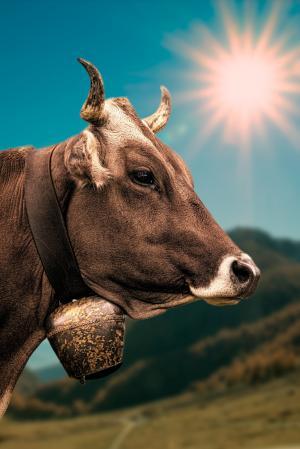 母牛, 贝尔, 高山, 新光, 十字平衡, 高对比度, 自然