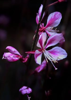 开花, 绽放, 关闭, 粉色, 灌木, 野花, 花