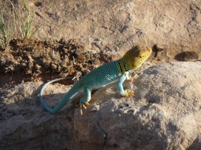 蜥蜴, 彩色 lizzard