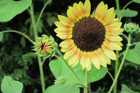 向日葵, 花, 花蕾, 黄色, 自然, 植物, 夏季