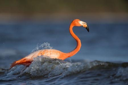 动物, 鸟, 羽毛, 火烈鸟, 湖, 自然, 羽毛