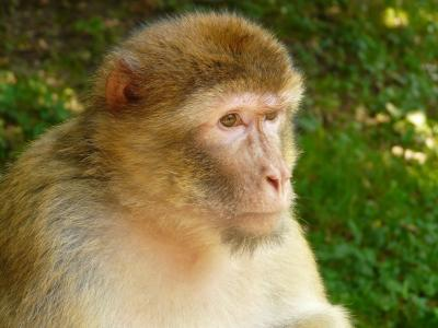 猴子山, 猴子, 塞勒姆, 巴巴利猿, 动物, 野生动物, 哺乳动物