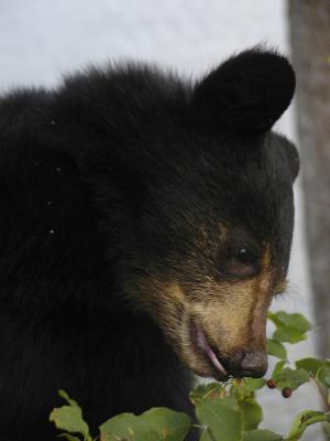 熊, 幼崽, 黑色, 特写, 动物, 哺乳动物, 自然