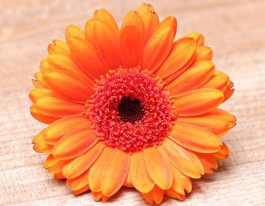 非洲菊, 花, 开花, 绽放, 多彩, 橙色, 橙花