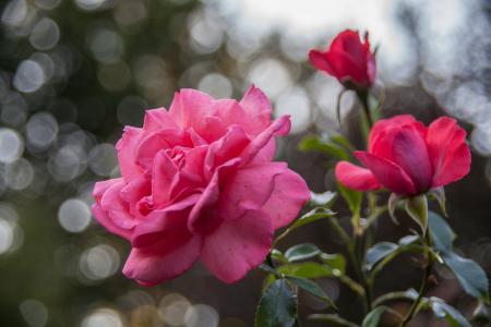 花, 玫瑰, 红玫瑰, 粉色, 公园, 夏季, 自然