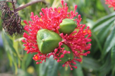 种子, 开花, 绽放, 热带地区, 花, 植物, 褪色