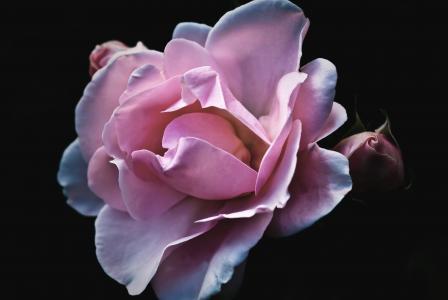 玫瑰, 花, 自然, 花园, 开花, 绽放, 花瓣