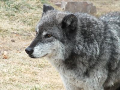 狼, 动物, 野生动物