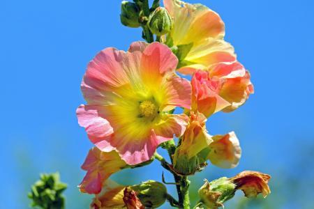 股票的玫瑰, 宝贝玫瑰, 花, 开花, 绽放, 花, 光明