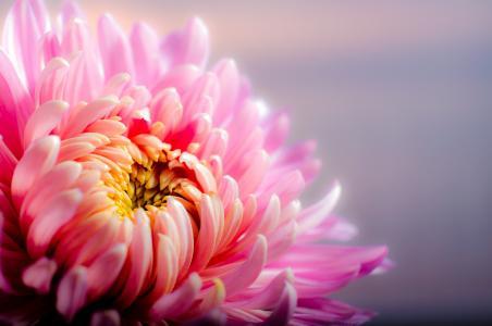 菊花, 秋天, 粉色, 花, 粉红色的颜色, 花瓣, 头花