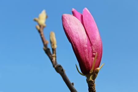 木兰, 玉兰树, 玉兰花, 开花, 绽放, 春天, 自然