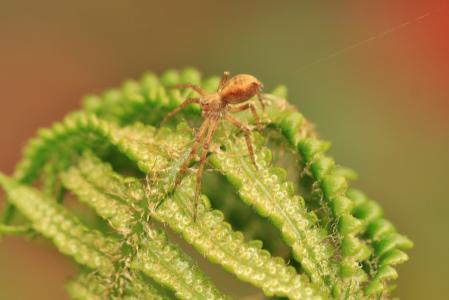 蕨类植物, 斯特里克尔蜘蛛, 绿色, 植物, 叶蕨, 森林, 蜘蛛