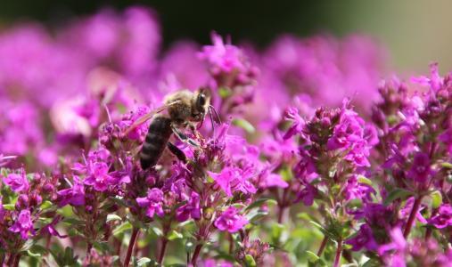 蜜蜂, 昆虫, 关闭