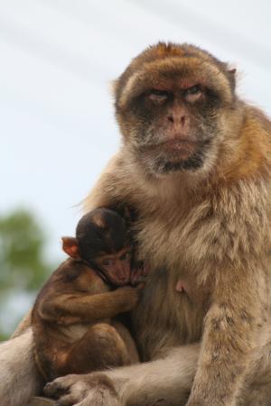 巴巴利猿, 直布罗陀, 猴子
