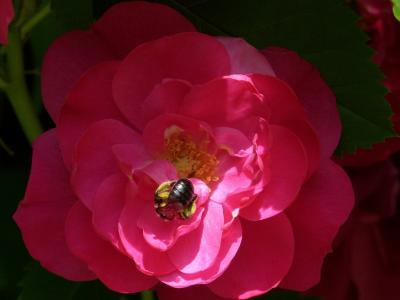 海棠, 昆虫, 花, 红色, 花园关闭, 自然