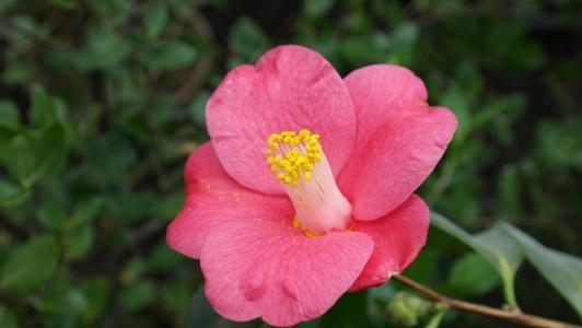 茶花, 山茶, 茶树厂, 灌木花, 植物区系, 自然, 花