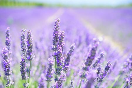 薰衣草开花, 紫色, 紫罗兰色, 淡紫色, 薰衣草田, 花, 植物区系