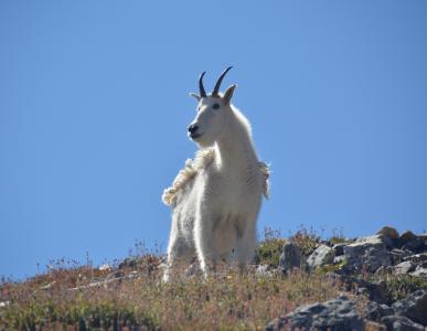 山羊, 山, 野生, 动物, 野生动物, 哺乳动物, 白色