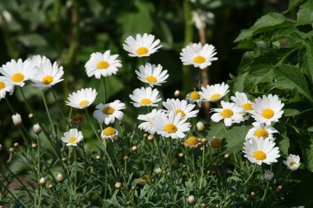 花, 洋甘菊, 植物, 美丽的花, 自然, 黛西, 夏季
