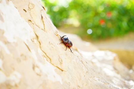 犀牛甲虫, 甲虫, 喇叭, krabbeltier, oryctes nasicornis, 叶角甲虫子, 特别被保护的动物