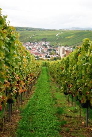 葡萄酒, 葡萄园, 葡萄, 德国, 葡萄藤, 收获, 水果