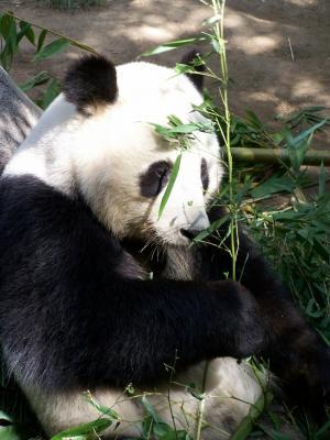 熊猫, 动物园, 圣地亚哥动物园, 濒临灭绝, 动物, 熊, 中国