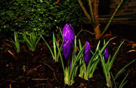 番红花, 开花, 绽放, 春天, 紫色, 花, 花紫色