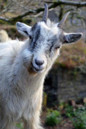 山羊, 威尔士, 动物, 野生动物, 野生, 动物学, 哺乳动物