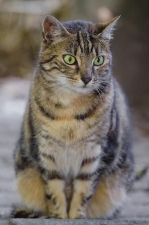 猫, 猫科动物, 寻找, 可爱, 坐, 国内, 很好奇