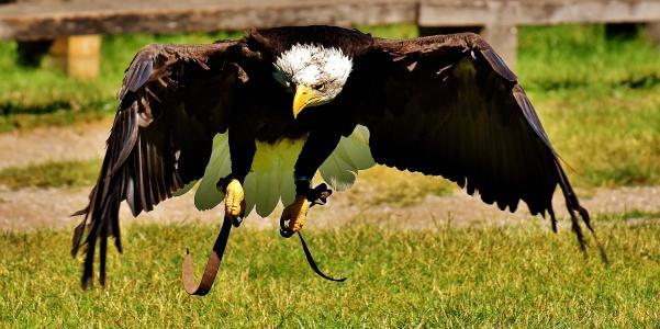 阿德勒, 白头海雕, 鸟, 猛禽, 秃头鹰, 鸟的猎物, 条例草案