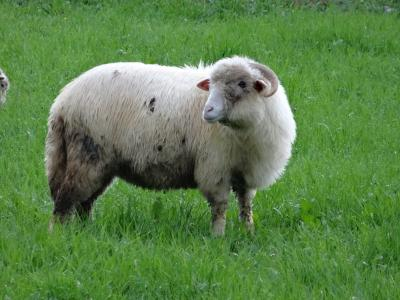 自然, 草甸, 草, 羊, 牧场, 反刍, 动物