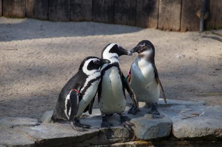 企鹅, 水鸟, 动物园