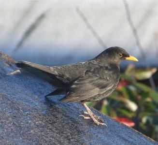 黑鹂, 鸟, 栖息, 自然, 外面, 宏观, 特写