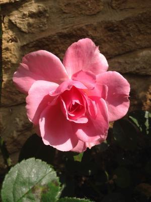 你是美丽的玫瑰, 上升, 花, 绽放, 粉色