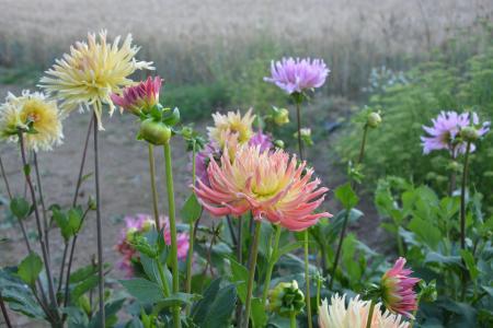 地块, 大丽花, 花, 夏季, 黄色, 粉色, 春天