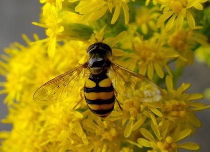 蚜, 昆虫, 宏观