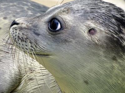 罗伯, 密封, 吼, 水生动物, 动物, 水, 游泳