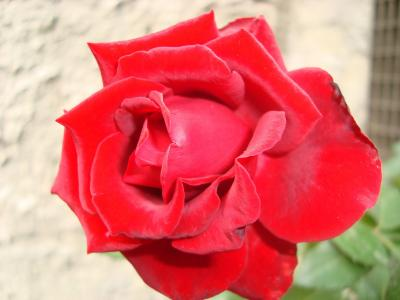 罗莎, 花, 红色, 红玫瑰, 玫瑰-花, 自然, 花瓣