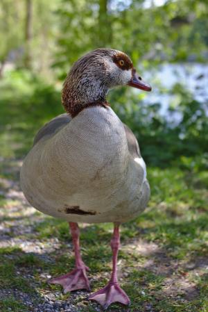 鹅, 鸟, 家禽, 羽毛, 动物, 走了, 路径